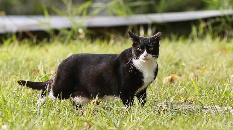 A cat is pictured at a feral cat