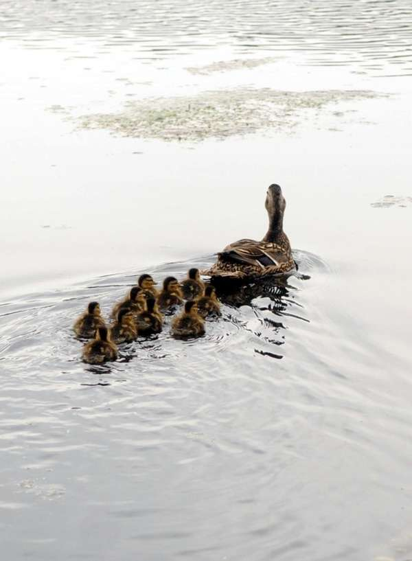 A rescued duck and 10 of her baby