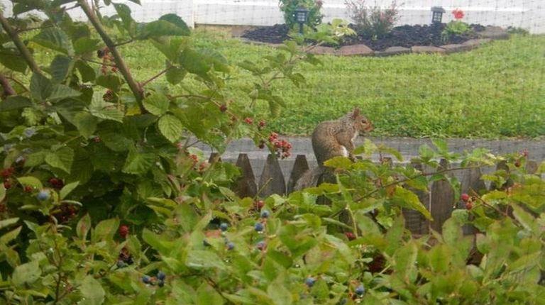 A squirrel makes way through Michael Dobie's blackberry