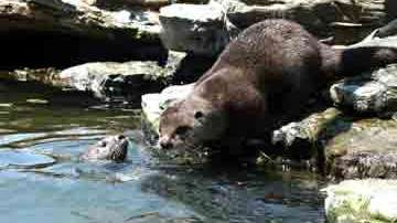 A mom with two baby otters at Atlantis