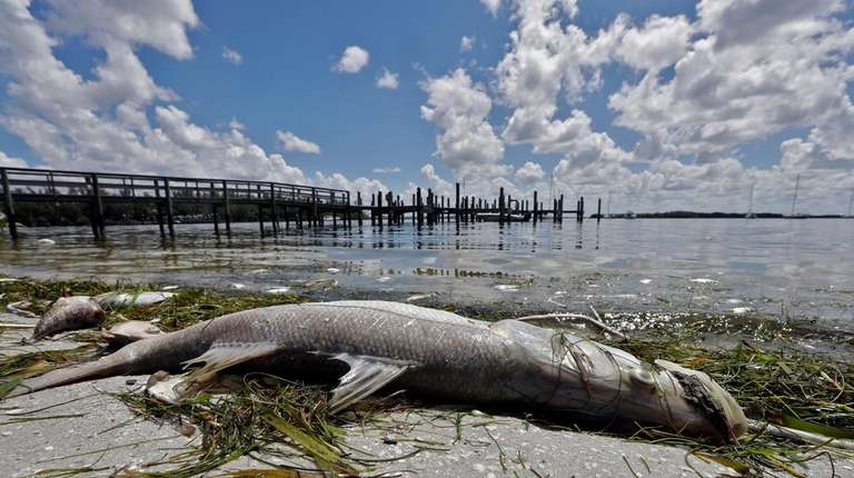 In this Monday photo, a dead snook is
