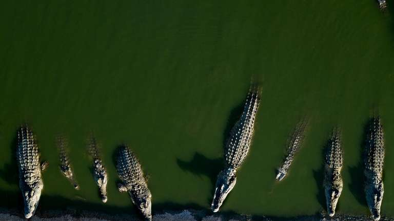 Hundreds of crocodiles are stuck at a farm