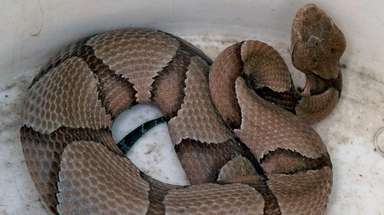 This copperhead snake was found outside the bay