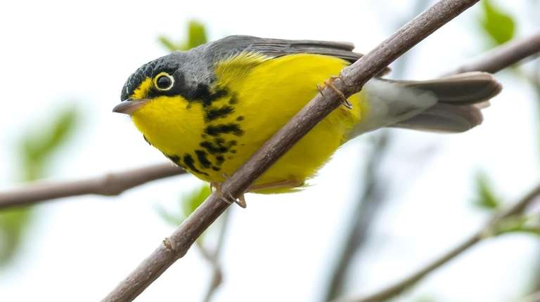 A Canada warbler perched on a branch