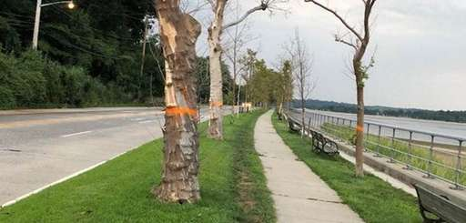 Dying sycamore trees along Shore Road in Sea