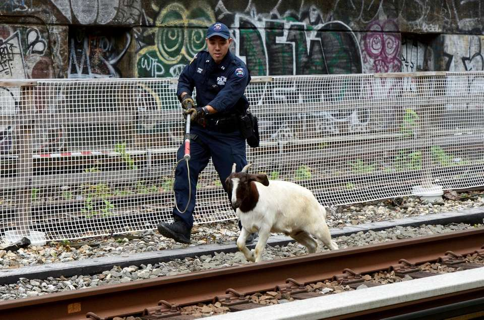 An emergency services cop pursues a goat wandering