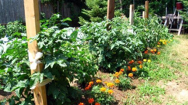 Dawn Coletta's tomato garden