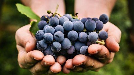 Freshly harvested black grapes.
