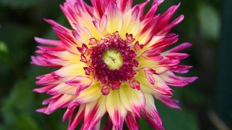 Kathy Burke has 152 dahlias in her Northport