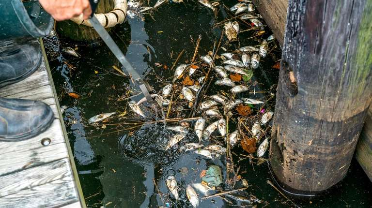 Hempstead Town employees clean up dead fish in