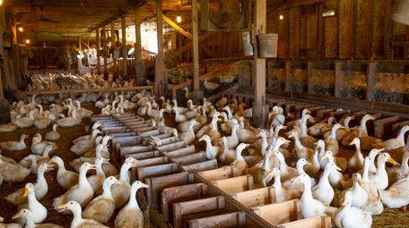 Fourteen-month-old ducks inside the breeding barn at Crescent