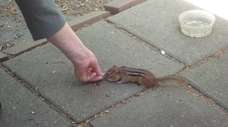 Celeste Targum of Albertson feeds a chipmunk in
