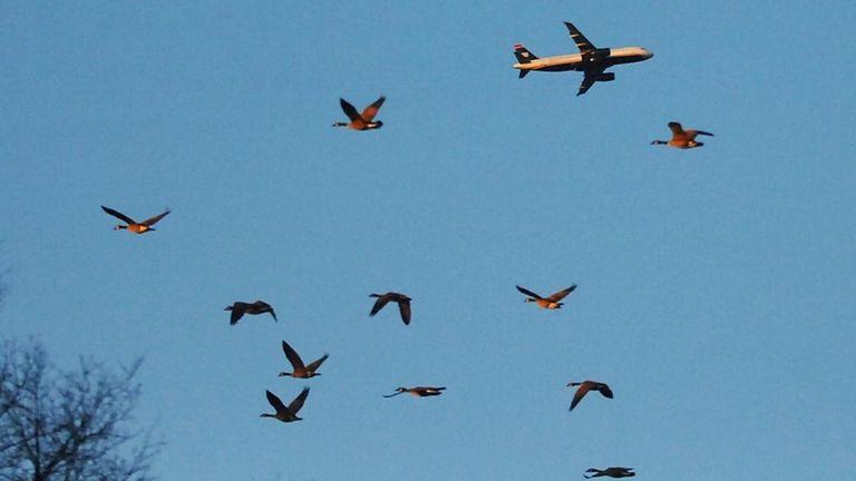 FILE - Canada geese soar through the sky