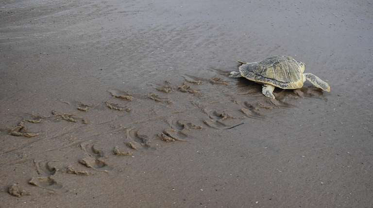 Rocky Road, a juvenile Kemp's ridley turtle, waddles