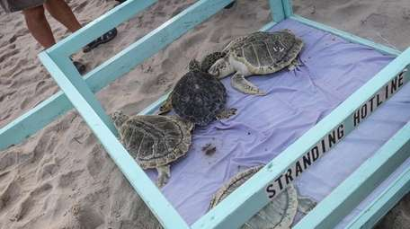 Four sea turtles that were rehabilitated, after being