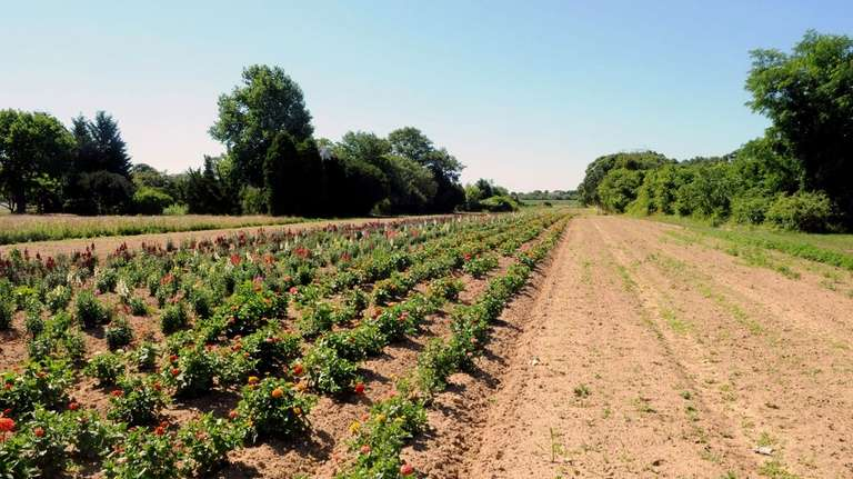 Cuomo farm in East Moriches. (July 1, 2010)