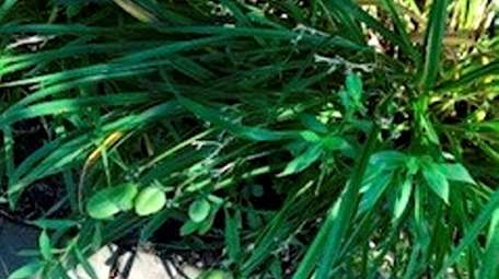 Seed pods grow on daylilies after they bloom.