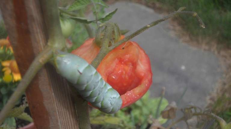 A tomato hornworm munches tomatoes in Tom Smith's