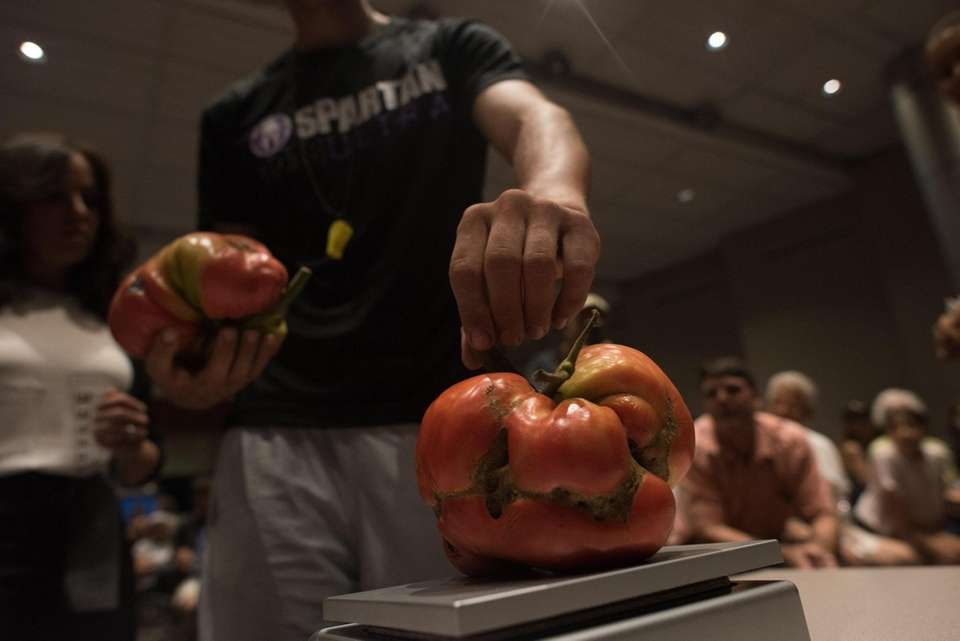 Peter Notarnicola weighs his tomato during Newsday's annual