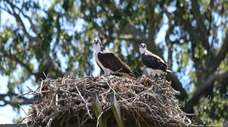 Two ospreys are perched on a nest on
