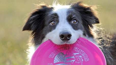 Carley, a five year old Border Collie, is