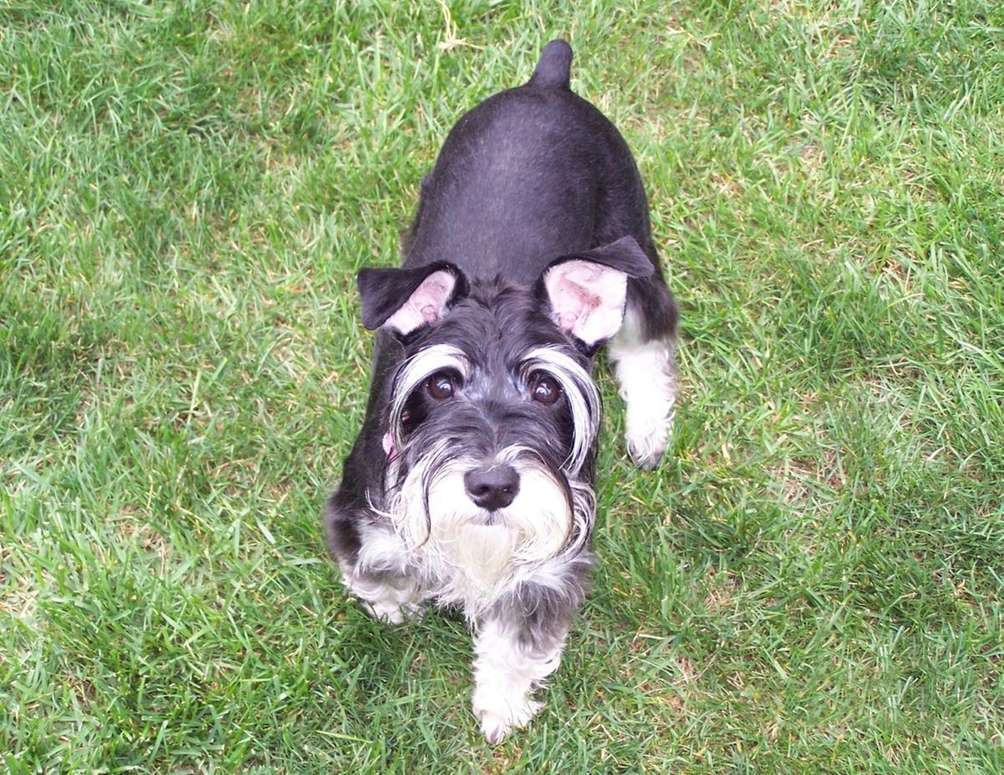 Roxie, a miniature schnauzer, enjoys playing outdoors in