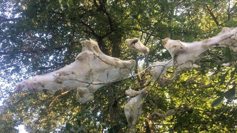 A fall webworm infestation on reader Rich Weeks'