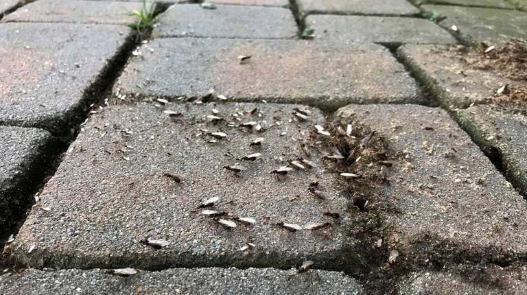 Winged ants crawl out of a gap in
