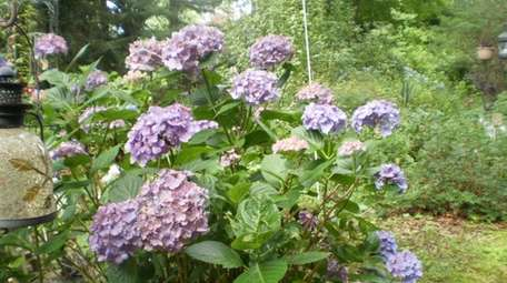 Hydrangeas bloom in Regina Phelps' garden at her
