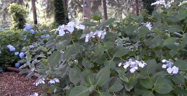 The hydrangea garden at Planting Fields Arboretum State