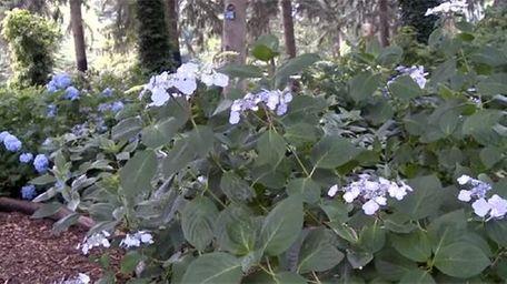 The hydrangea garden at Planting Fields Arboretum State
