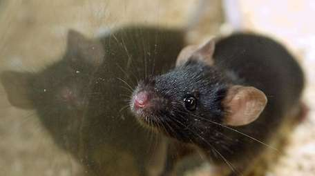 A male lab mouse at Washington University School
