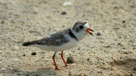 A file photo of a Piping Plover.