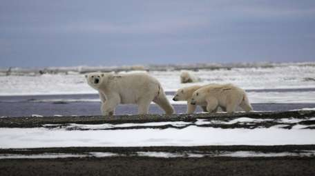 Polar Bear mother and 2 cubs walking in