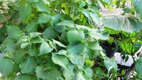 At Nagashima in Jericho, shiso (perilla) is grown