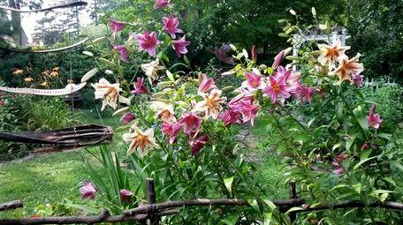Lillies grow in Kelly White-Rubin's Sayville garden.