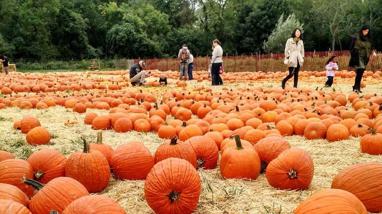 The Queens County Farm Museum's pumpkin patch opens