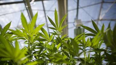 Plants of cannabis -- a growing business across