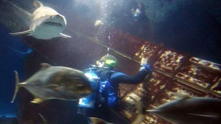 Experienced, professional divers explore inside the shark tank