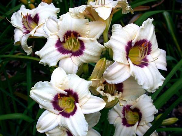 Daylilies like these will be available at bargain