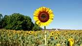 Sunflowers bloom at Pindar Vineyards in Peconic in
