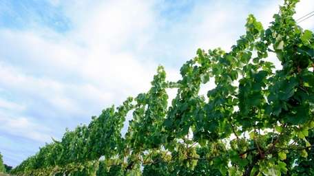 The grapevines at Bedell Cellars hang heavy with