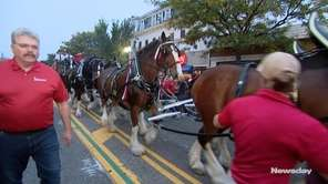 The Budweiser Clydesdales clopped along Main Street in