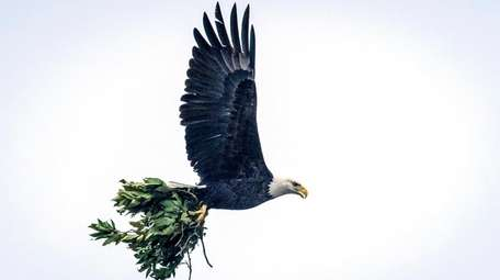 A bald eagle carries tree branches to add