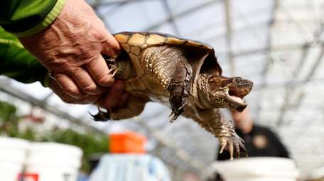 Herpetologist Michael K. Ralbovsky handles a snapping turtle