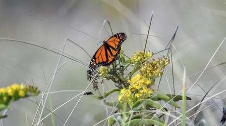 A monarch butterfly lands in a wooded area
