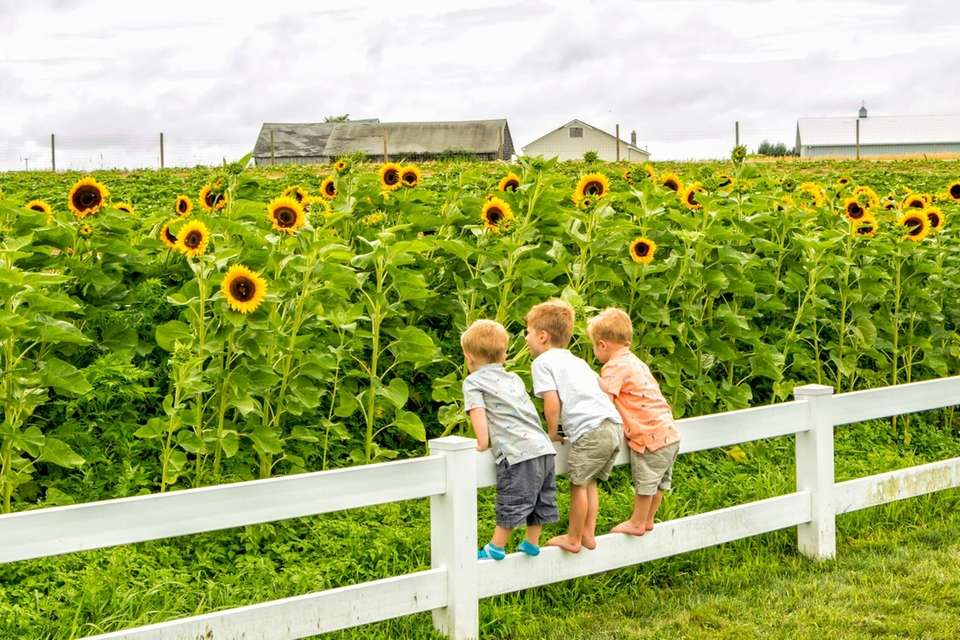 3 brother on a fence looking at Sunflowers