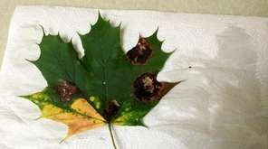 Maple tar spot is a fungal disease that