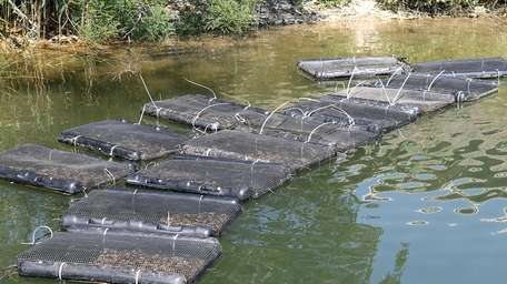 Oyster seedlings float in netted rubber cages on