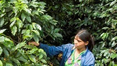 Picking coffee at Hacienda La Esmeralda, on the